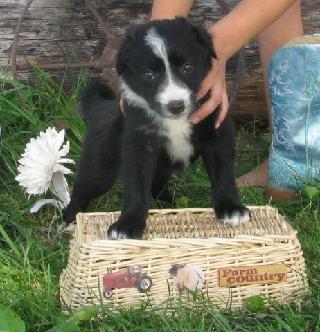 Playful Black And White Female Border Collie Puppy For Sale In
