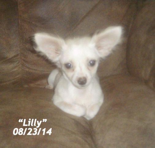 Beautiful Purebred Longhair Chihuahua Female, Born May 1