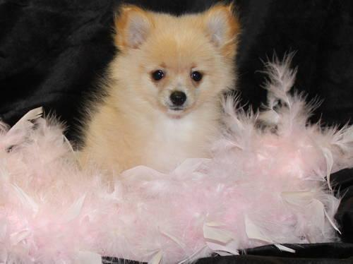 Pomeranian Precious Little Teacup Female Discount Available