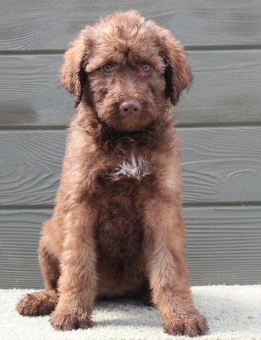 Candy - Sweet chocolate female labradoodle puppy