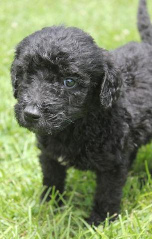 Minnie- small female labradoodles