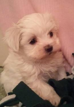 ~~reduced registered FEMALE maltese~~