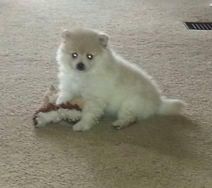reg. Cream female Pomeranian