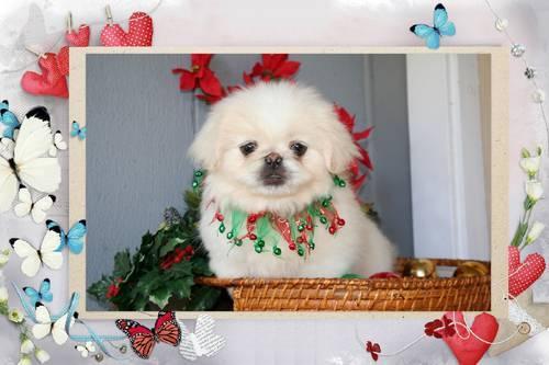 Precious Pekingese White female pup