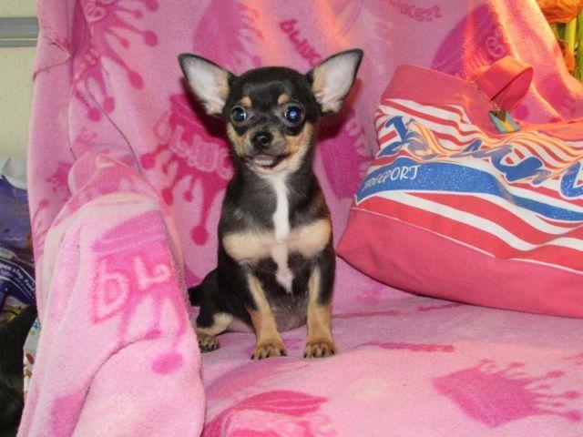 AKC CHIHUAHUA female pup