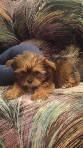 Adorable Tiny Party Yorkie Female Puppies For Sale