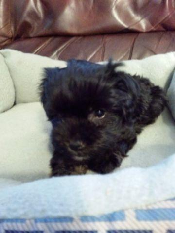 Sweet Akc Black and White Havanese Female Puppy- 7 weeks old
