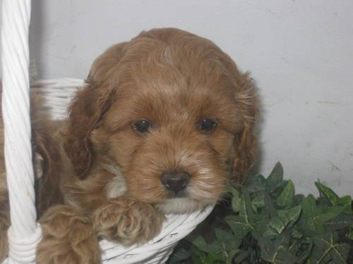F1 Cockapoo Female Puppy For Sale In London Ohio Classified