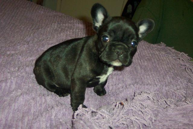 AKC French Bulldog Female Puppy