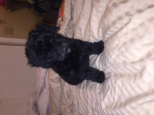 Mini poodle female puppy