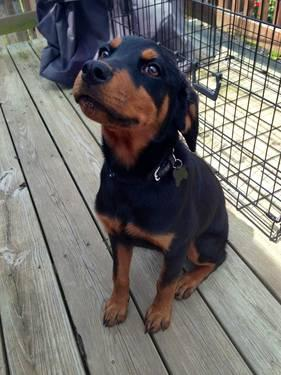 17 Week Old Female Rottweiler Puppy For Sale In Shepherdsville