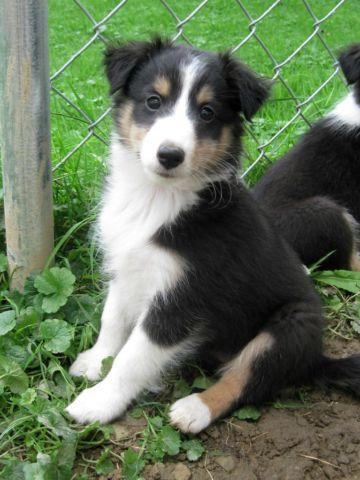 Stella: CKC Tricolor Female Sheltie Puppy