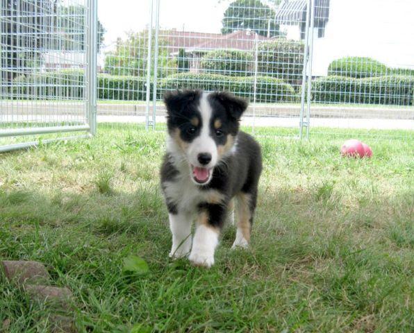 Sadie: CKC Tricolor Female Sheltie Puppy