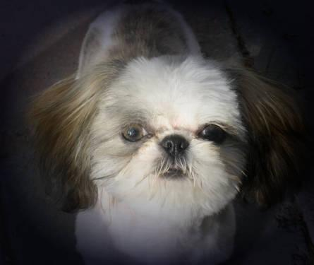 teacup shih tzu adults akc imperial sized adult female shih tzu teacup for sale 1674