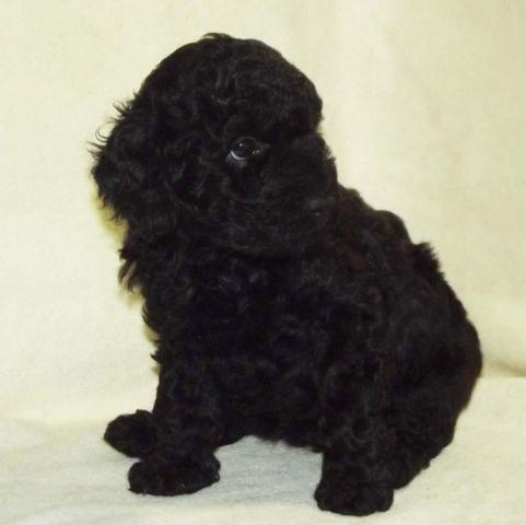 ISO Registered Adult Female Toy Poodle