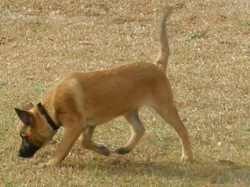 AKC Belgian Malinois Female (Valentines Special)