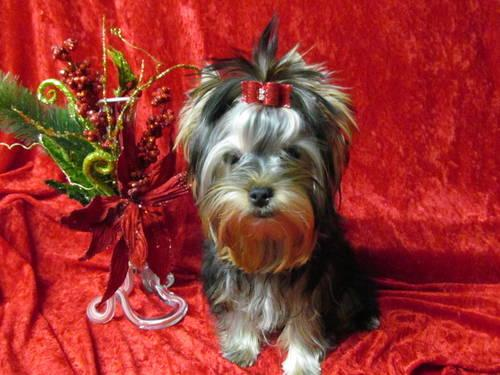 Valentine! Adorable Small Female Yorkie