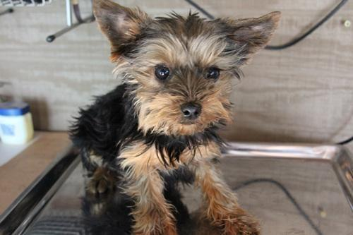 Tiny t-cup female Yorkie
