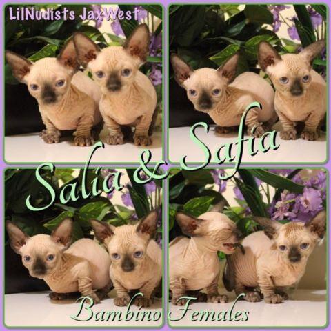 Bambino Females