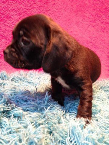 Cute CKC Puggle Puppy for Adoption- Ready 3/17