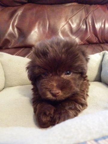 Adorable Akc Chocolate Havanese Female Puppy for Adoption -7