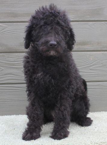 Tammy - F1B Female Black Labradoodle Puppy for Adoption - 11 wks old