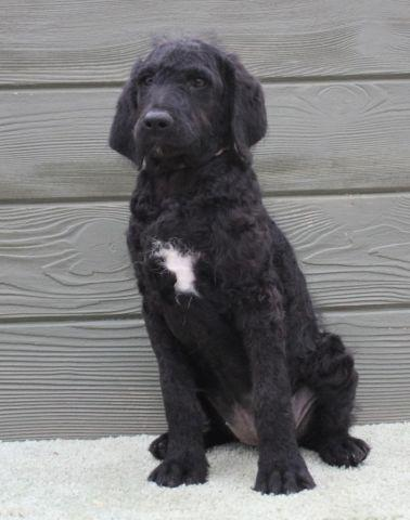 Missy - F1B Female Black Labradoodle for Adoption - 12 Weeks Old