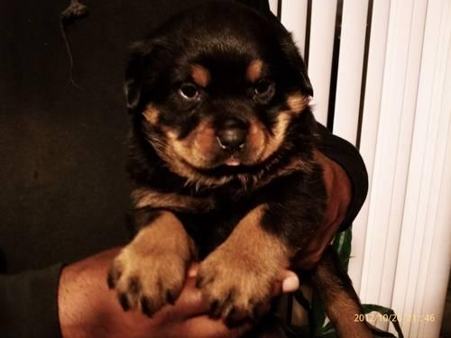 AKC Rottweiler Puppy for adoption 11wks