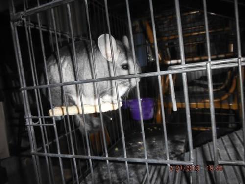Gray Chinchilla for Adoption