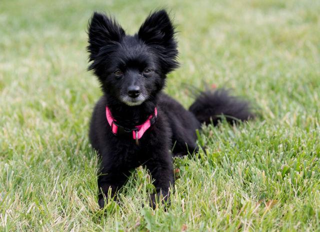 Pomeranian/Schipperke Mix for adoption