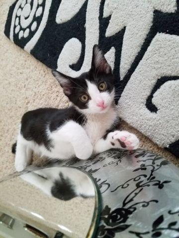 Fun Loving Kitten for Adoption