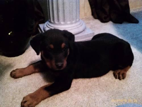 AKC Rottweiler Puppy for adoption 9wks