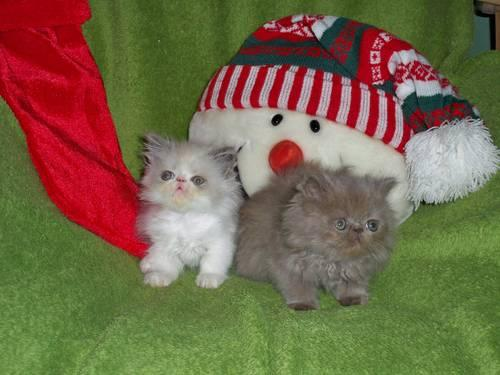 Purr-fect Persian Kittens for Christmas