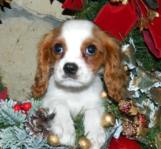 Cavalier King Charles for Christmas!!