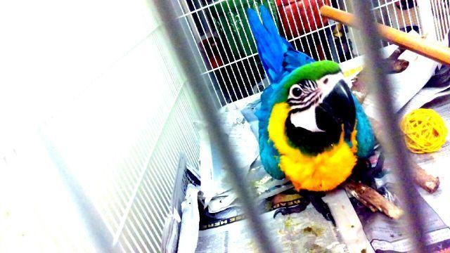 wanted: exchange baby Blue throated macaw for Mature Male BLUE THROAT