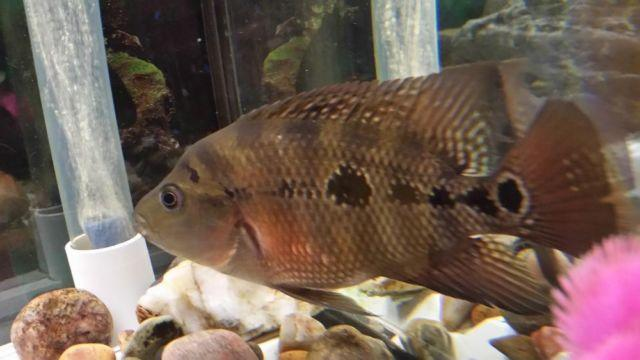need new home for my cichlid