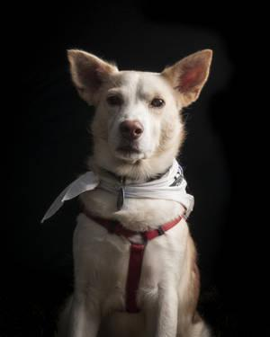 Siberian Huskies Looking For New Homes