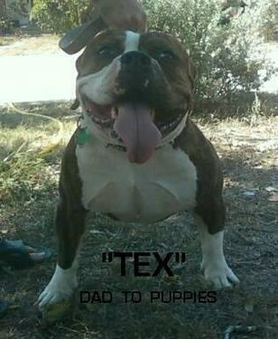 ABKC AMERICAN BULLY PUPPIES FOR SALE-10 Weeks Old