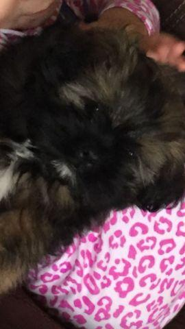 Adorable AKC Shih Tzu for sale- 3.5 months
