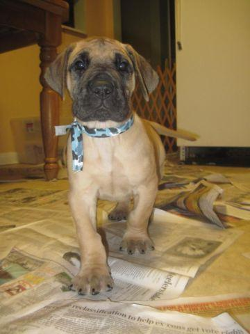 AKC 1/4 Euro Fawn Great Dane Puppies For Sale - 6 weeks old