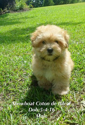 AKC Coton de tulear puppies for sale 11 weeks