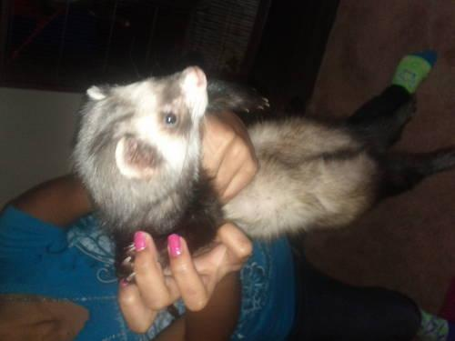 Three ferrets for sale