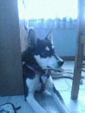 Alaskan Husky for sale