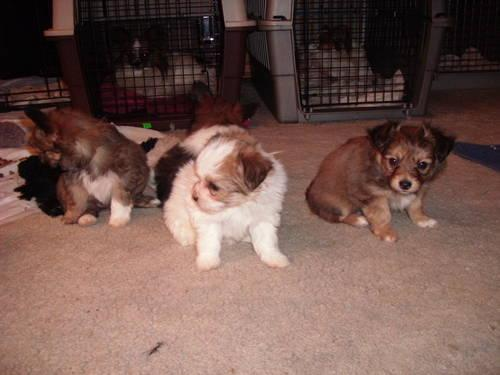 Maltese/Papillon Puppies for sale
