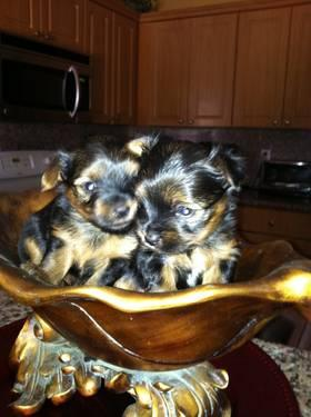 Toy Yorkies For Sale