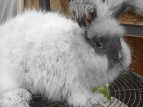 English Spot rabbit for sale