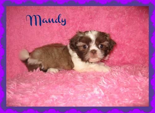 Cute Shih-Tzu puppies for sale for Sale in Franklin