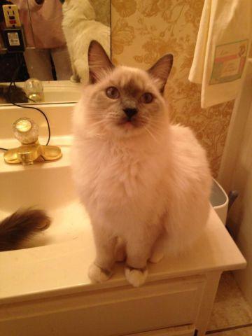 Adorable Ragdoll Kitten for sale!