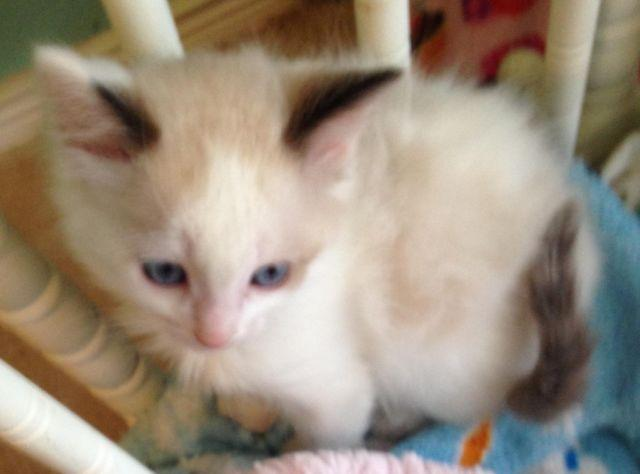 Adorable Ragdoll Kittens for sale!