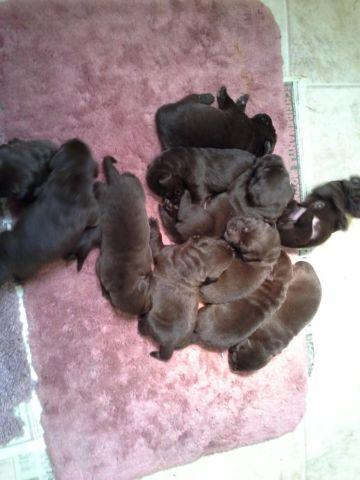 AKC Brittany pups for sale